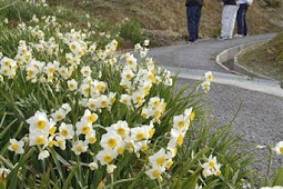 遠見山公園すいせんの花が満開で見頃
