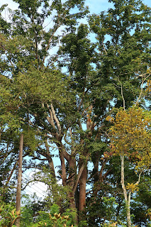 pochote tree