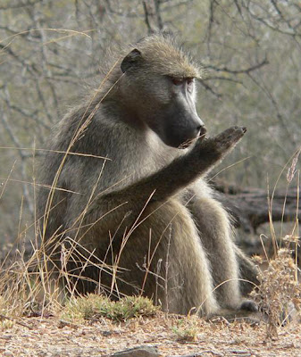 High social rank comes at a price, wild baboon study finds ...