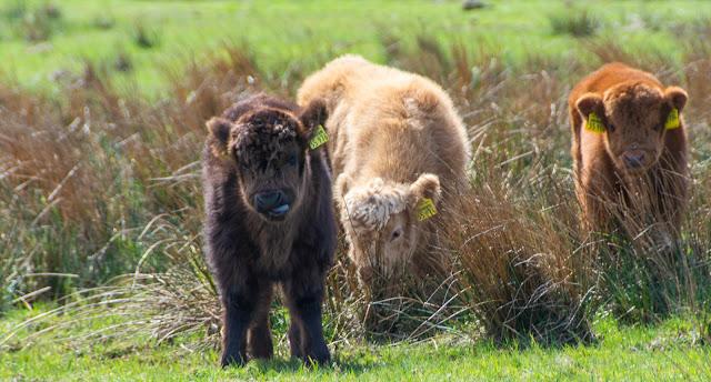 Schottlandrinder Babys auf Langeoog