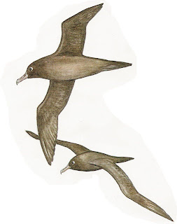 Albatros oscuro Phoebetria fusca