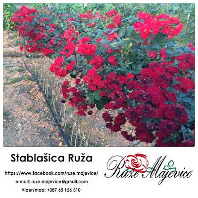 Katalog ruža stablašica Ruže Majevice