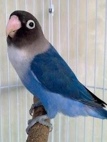 Lovebird Biru Cobalt Perso