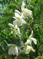 gambar bunga kelor