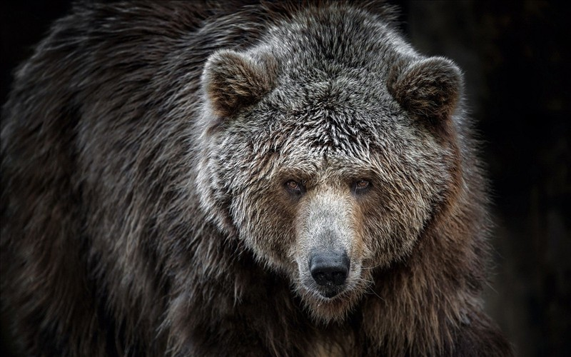 grizzly bear 002