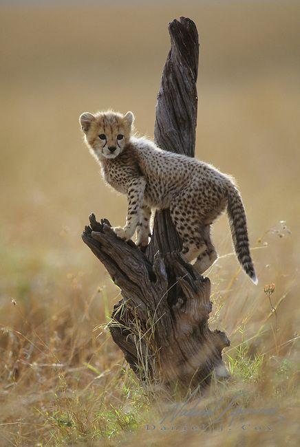 Cheetah cub - Masai Mara National Reserve, Kenya