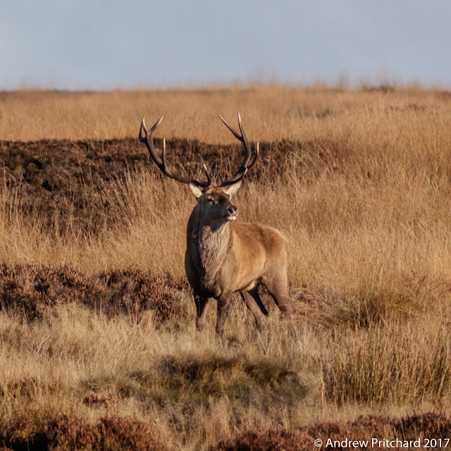 The stag is keeping a close eye on the two dogs nearby.