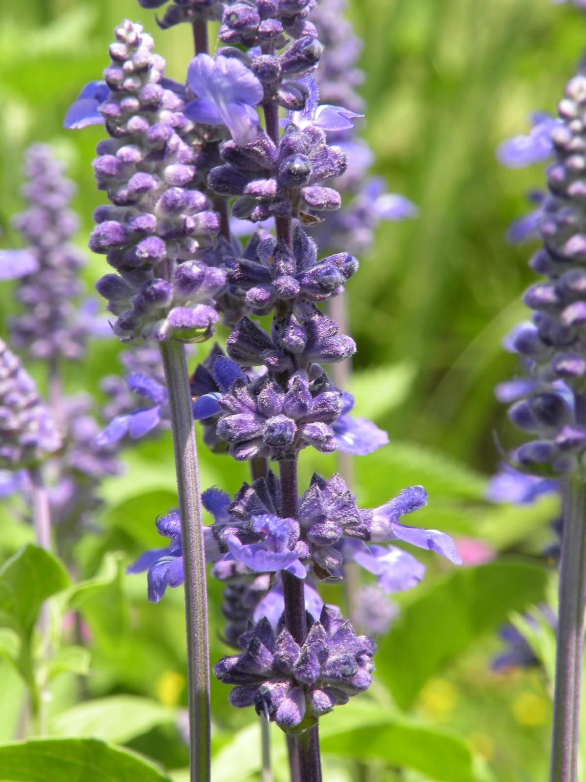 Mary's Louisiana Garden: Victoria Blue Salvia