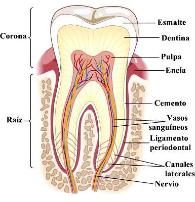 Sección transversal de un diente molar de un humano adulto.