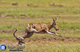 اخطر حيوانات مفترسة في العالم