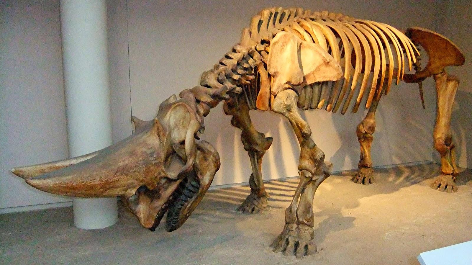 Elasmotherium Skeleton | www.imgkid.com - The Image Kid ...