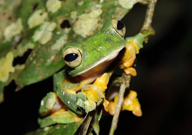 Many more amphibian species at risk of extinction than previously thought