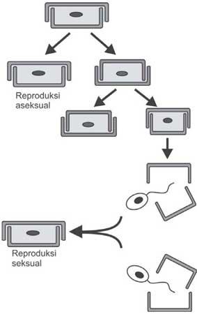 cara reproduksi bacillariophyta (diatom)