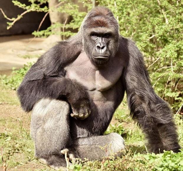 Menino que caiu em área de gorila passa bem
