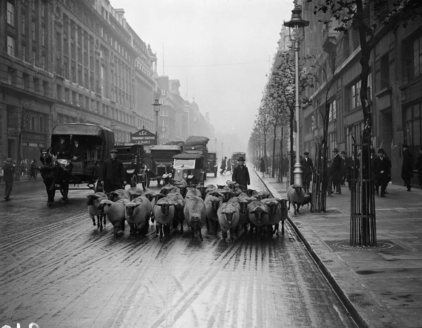 A flock of sheep head down the Kingsway in London. 1926.