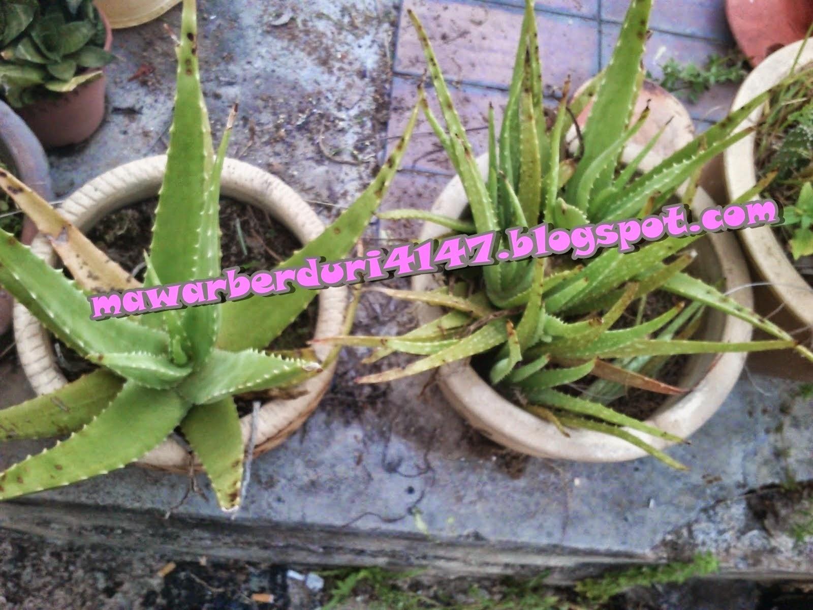 http://mawarberduri4147.blogspot.com/2015/03/petua-dan-herba-kongsibersamanora.html