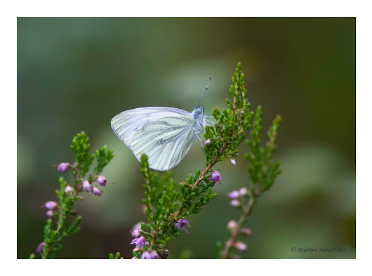 Rapssommerfugl - Green-veined white