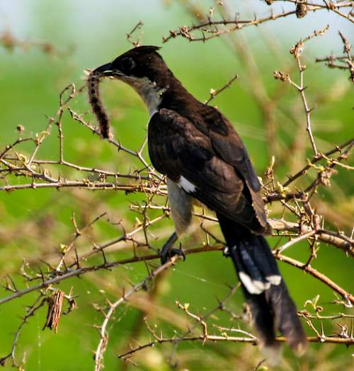 Birds of India - Jacobin cuckoo - Clamator jacobinus