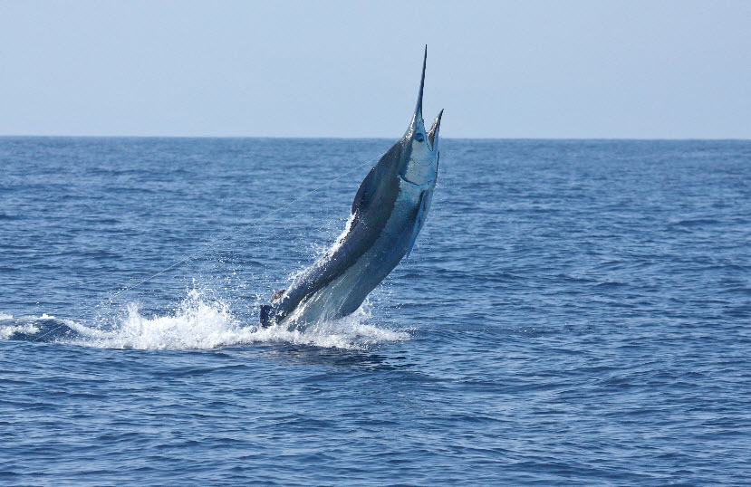 Blue Marlin | The Life of Animals