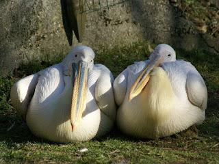 Pelecanus rufescens - Pélican gris