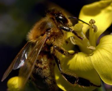 Umur Lebah dan Siklus Hidup Lebah