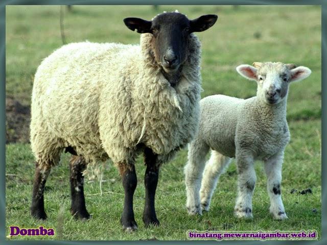 gambar domba binatang dari huruf D