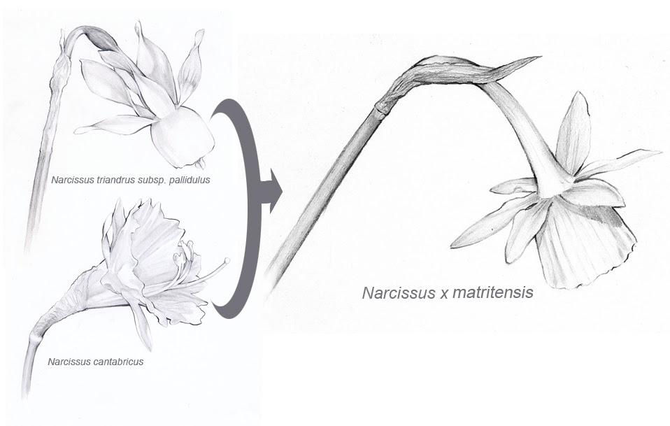 Prospectus Flora Ibericae: Narcissus x matritensis