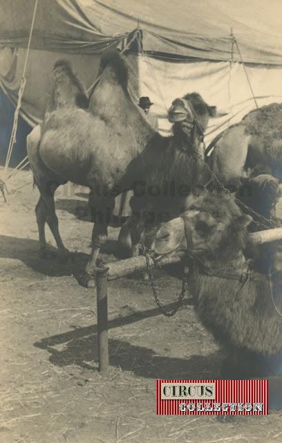 les chameaux du cirque Sarrasani