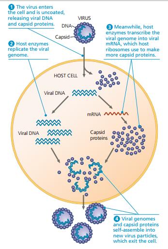 replikasi virus, replikasi virus secara litik dan lisogenik