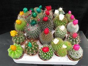 Jual Kaktus Hias Hubungi 0853 1420 3006 Kaktus Hias Indonesia