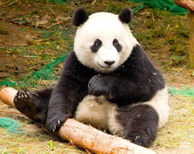 Panda - animal with letter p