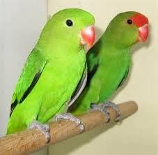 Jenis Lovebrid - Lovebrid Abisinia (Agapornis Taranta) - Penangkaran Burung Lovebrid