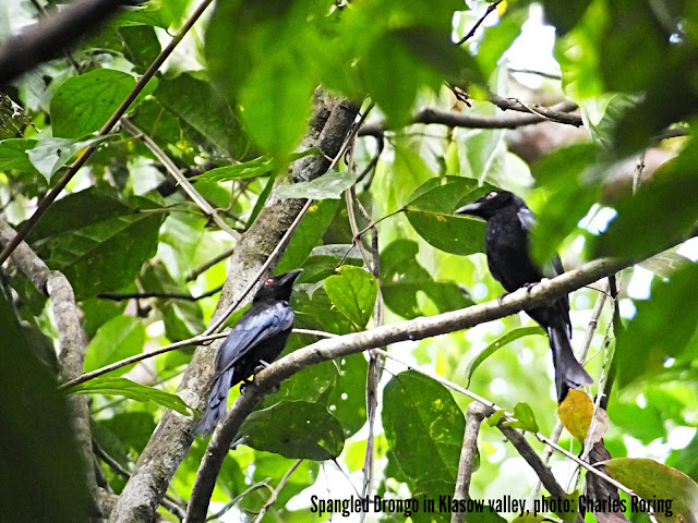 Black birds in rainforest
