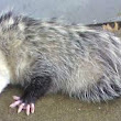 Opossums REALLY Do Play Dead