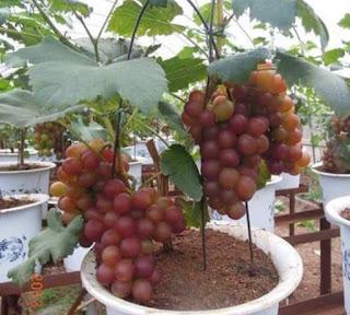 Cara Bercocok Tanam Buah Anggur Dalam Pot