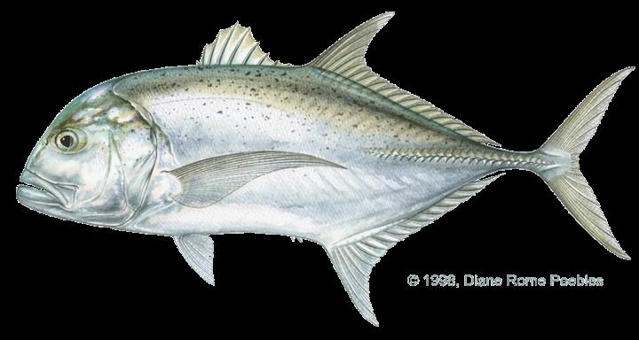 ikan kuwe gerong atau giant trevally