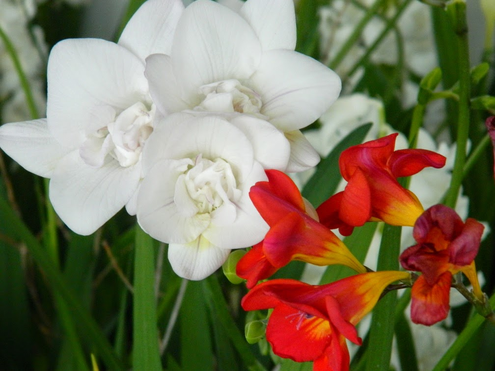 White red freesias Centennial Park Conservatory 2015 Spring Flower Show by garden muses-not another Toronto gardening blog
