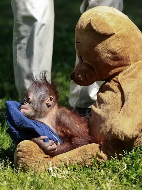 Thai Panda A Zoo Keeper Holds Baby Orangutan Boo A 9 Month Old Orphan