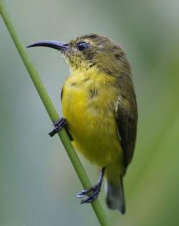 Tips Dan Cara Akurat Membedakan Burung Sogok Ontong Jantan Muda Bahan