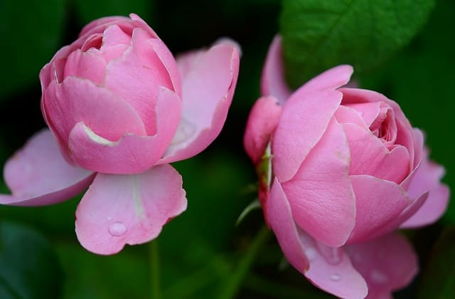 foto dua tangkai bunga mawar pink