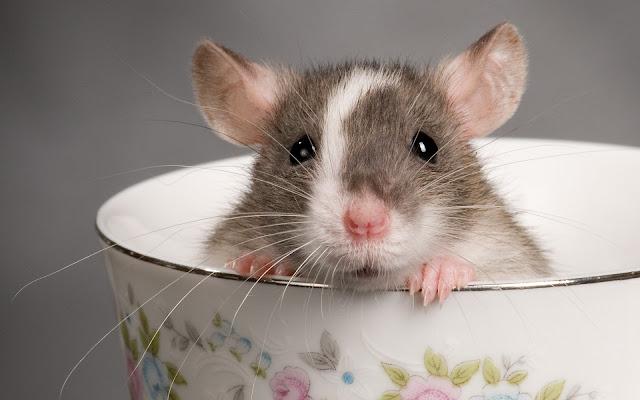Cara Halau Tikus Dari Rumah Dengan Menggunakan Uncang Teh