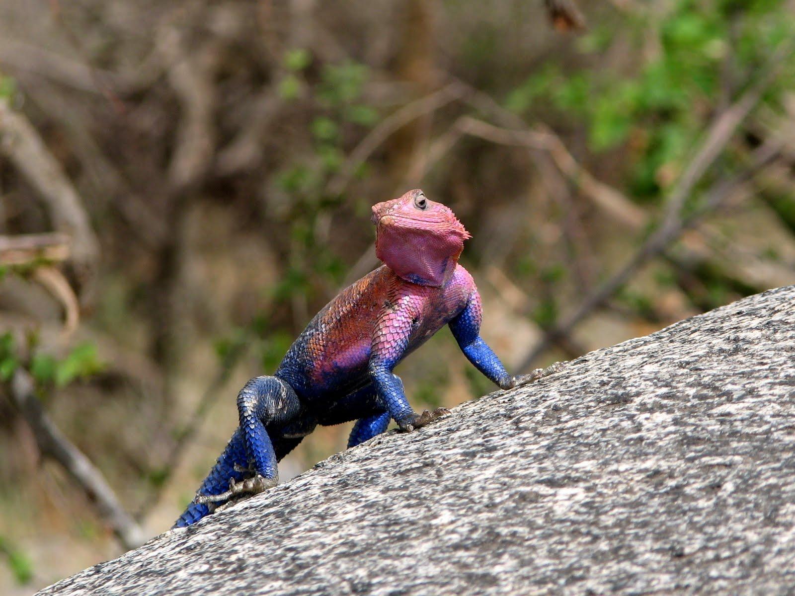 Agama manzea SpiderMan lookalike