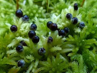 Sphaigne squarreuse - Sphaigne hérissée - Sphagnum squarrosum