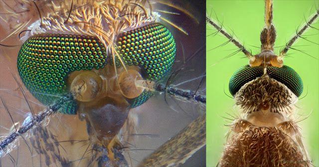 Begitu Detail Dan Menakjubkannya Allah Menciptakan Nyamuk