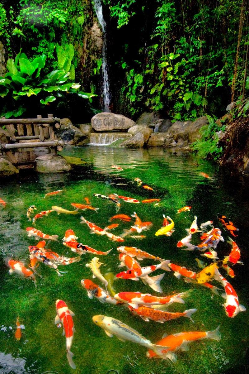 Jual Ikan Hias Koi di Bali: Tips | Cara Merawat Kolam Ikan Koi