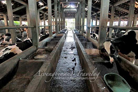 cibugary dairy farm tour pondok ranggon