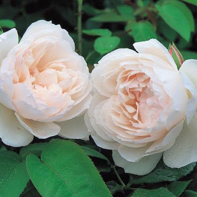 hoa hồng leo ngọc sương