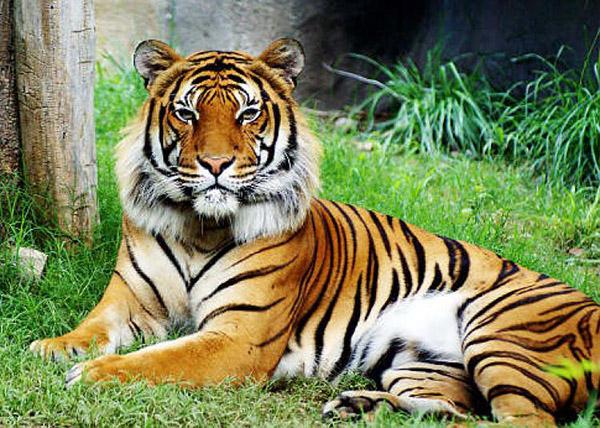 malayan-tiger-kill-chinaman