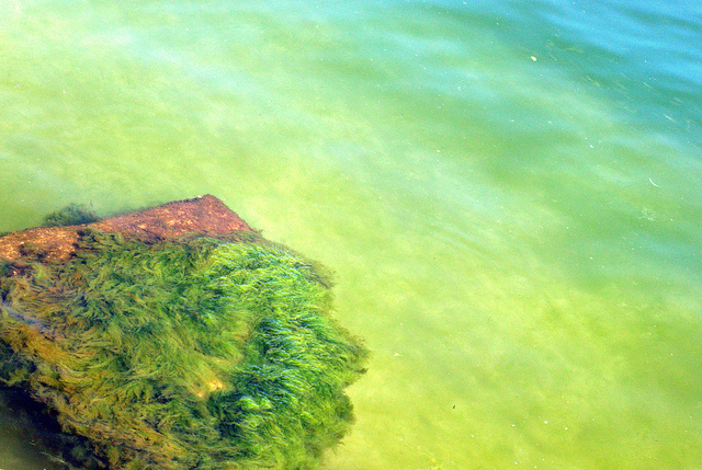 glony pod wodą