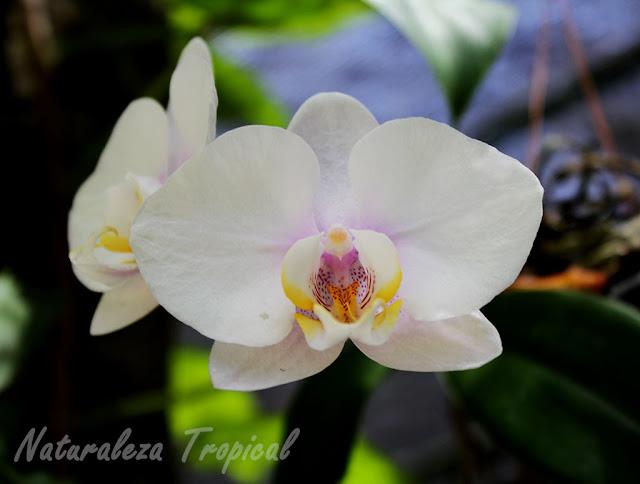 Variedad blanca de una orquídea Mariposa, género Phalaenopsis